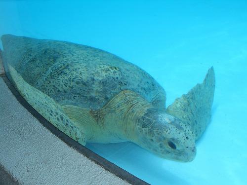クロウミガメ
