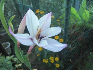 2010.8お庭のお花