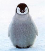 皇帝ペンギンの赤ちゃん