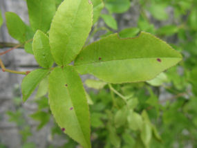 白モッコウバラの葉