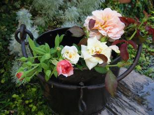 07.9.3.1.庭で咲いたバラ