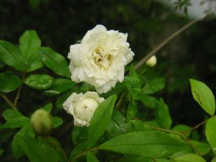 白モッコウバラ開花