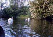 テムズ川の白鳥