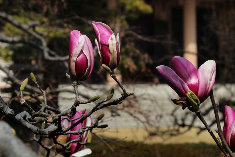 咲きかけの木蓮と蕾 120320