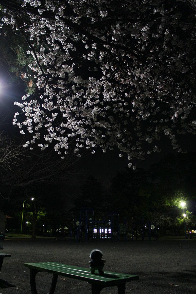 夜桜を見上げる 120330