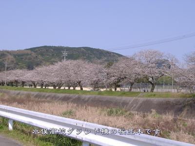 koukouyokosakura.jpg