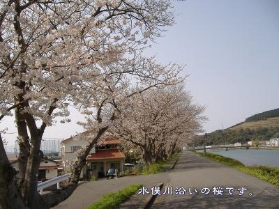 s-kawazoisakura01.jpg