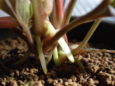 Homalomena sp. Redleaf Broad Borneo