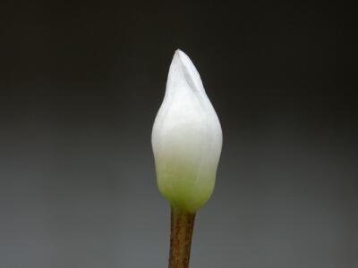 Bucephalandra sp.Kayu lapis