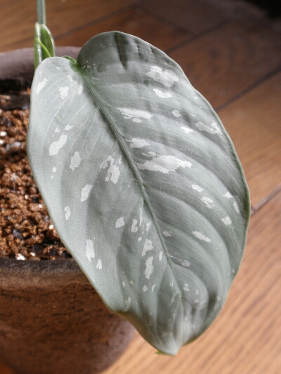 Aglaonema sp  Bajut