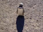 首をかしげるペンギン