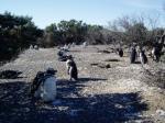 見渡す限りのペンギン