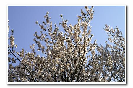 『桜』-1