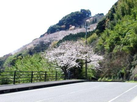 桜・(鬼ケ城) 001