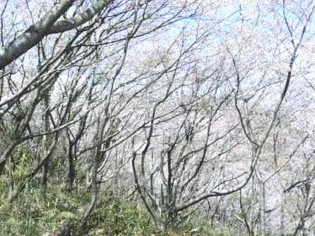 桜・(鬼ケ城) 004