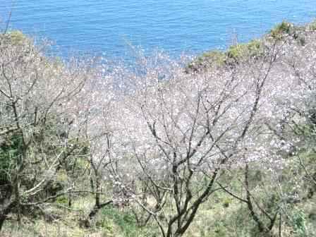 桜・(鬼ケ城) 005