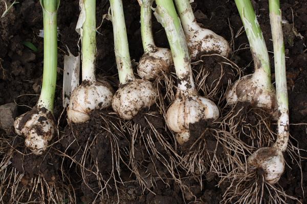ニンニク収穫2