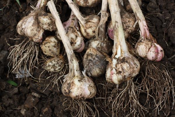 ニンニク収穫3