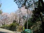 見上げると桜