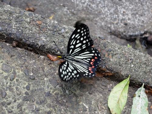 アカボシゴマダラ蝶