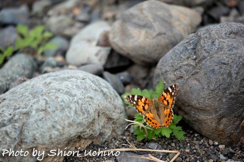 ヒメアカタテハ蝶