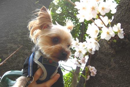 青戸公園の桜