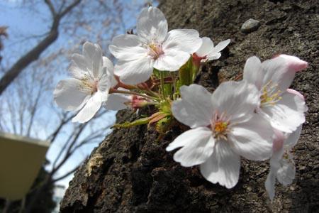 青戸公園の桜2