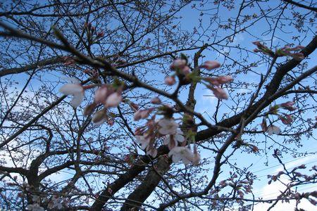 IMG_0428 桜2