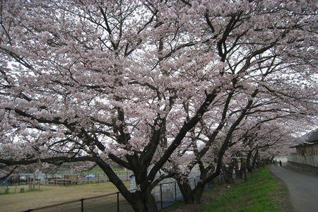 IMG_0689 ざくろの桜