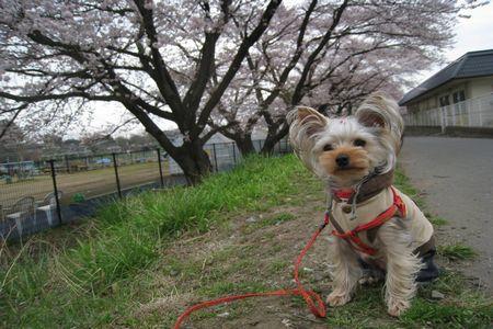 IMG_0692 桜並木とあず