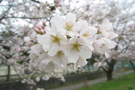 IMG_0730 桜アップ