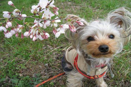IMG_0751 桜とあずき