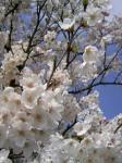やっぱり桜はカワイイv v