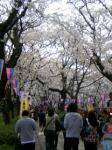 桜トンネル~☆