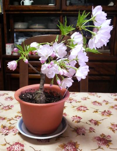 テーブルの桜