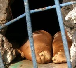 天王寺動物園★お昼寝中のアシカ