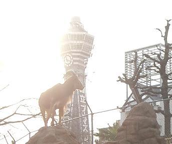 天王寺動物園★通天閣とバーバリシープ