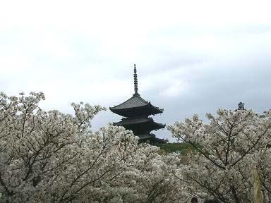 仁和寺の塔と桜