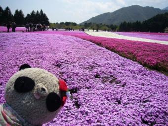 富士芝桜まつりinばぶちゃん