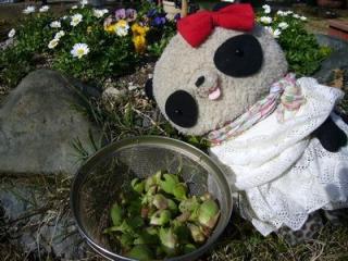 ふきのとう収穫祭