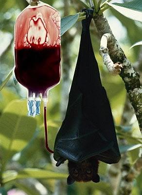 輸血中コウモリ