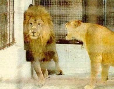 動物のキングもメスには弱い!