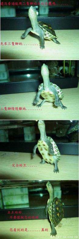 二本足立ちの亀