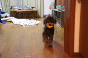 投げれば取って来る...当たり前の犬の本能