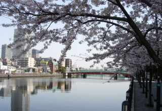 運河沿いの桜が働けと言っている?