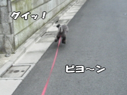 あっちの方向に走るPoohもリードの長さまで