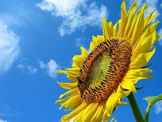 sunflower_004.jpg