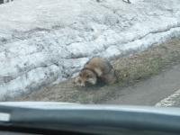 道路沿いにいた狸マン