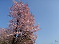 桜がこんもりと美しい♪花見だー