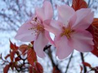 丸山公園 桜をズームイン!!